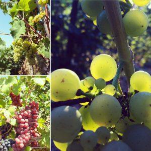 Die Weinlese begann mit wunderschönen Müller Thurgau Trauben