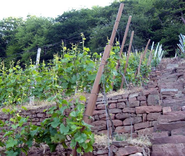 Weingut Waigand: Blick in einen unserer Weinberge am Erlenbacher Hochberg